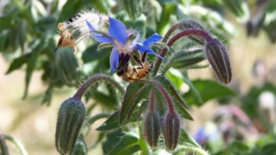 Photo of All About Borage
