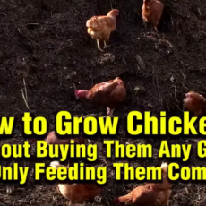 How-to-grow-chickens-without-grain