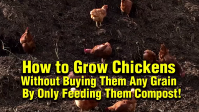 Photo of How to Grow Chickens Without Buying Grain – by Only Feeding Them Compost