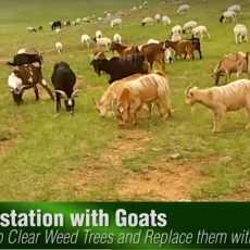 Restoration-with-goats