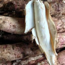 Growing_cassava_IMG_2277