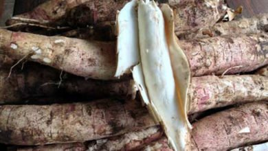 Photo of Growing Cassava in the Perennial Main Crop at Zaytuna Farm