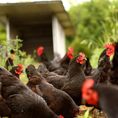 Chicken Systems of Zaytuna Farm, home of the Permaculture Research Institute Australia