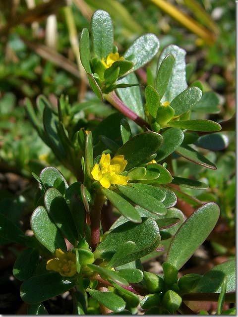 Purslane-flower
