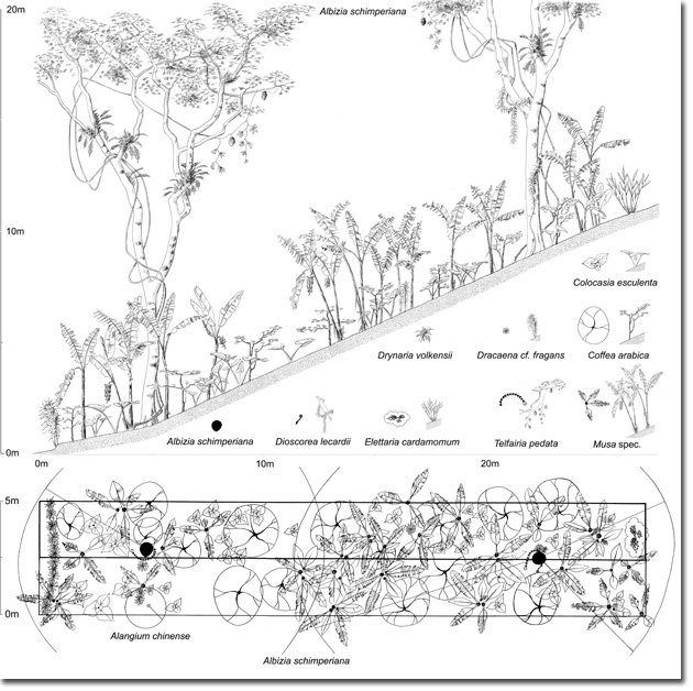 4-Chagga-Homegarden-Vegetation-Profile-(Dr.-Andreas-Hemp,-2005)