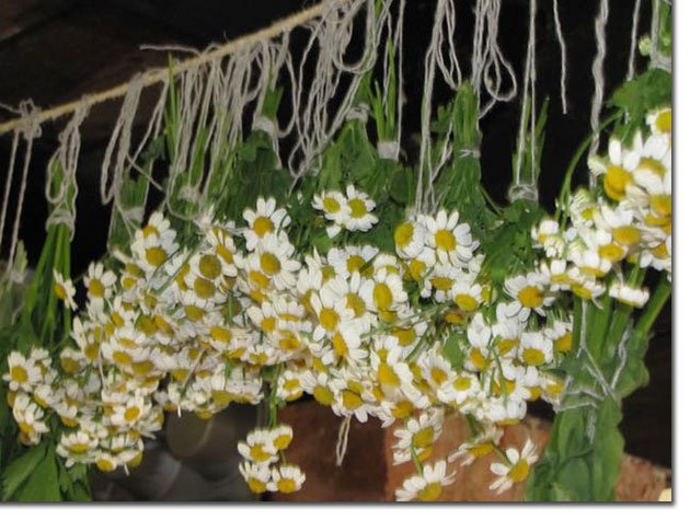 Chamomile-Bunches