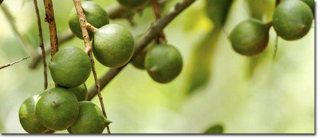 Mac-tree