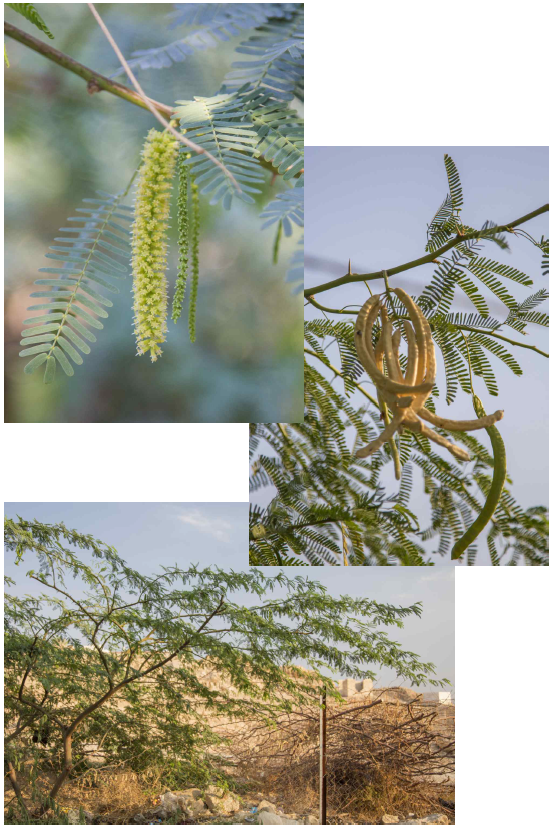 Support Species For A Dryland Food Forest A Practical