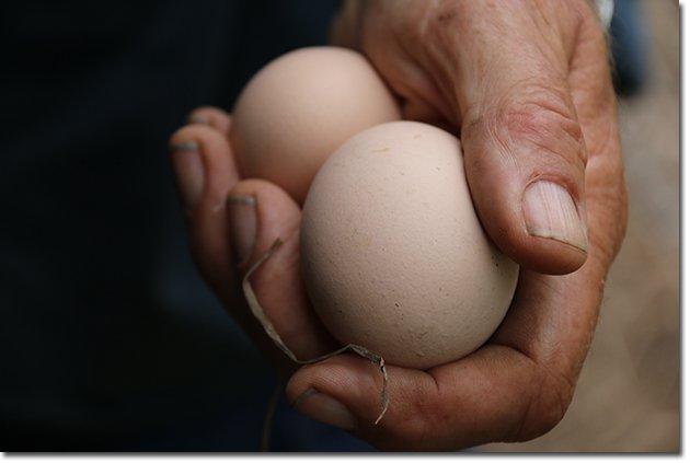 Backyard-Chickens-Eggs