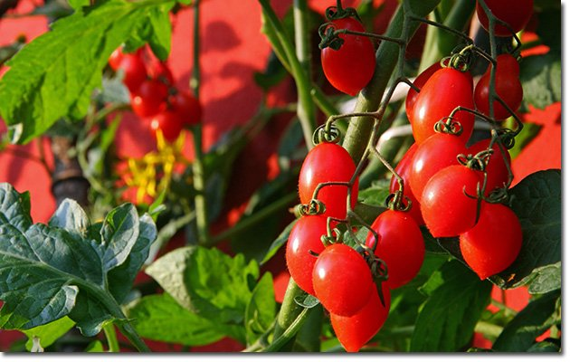 Planting-in-Pots-Tomato