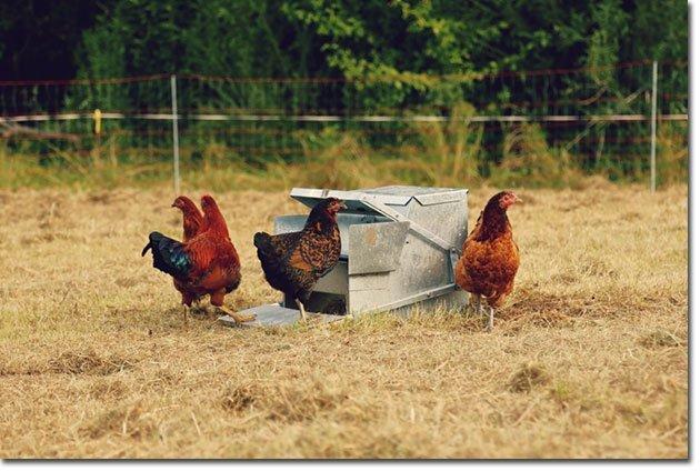 Chickens-feeder