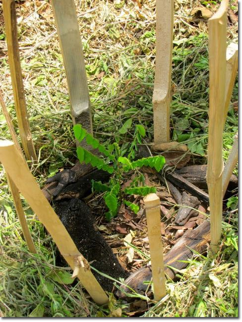 A-tiny-starfruit-tree-protected-by-bamboo-stakes-and-mulch