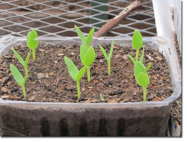 Seedlings-in-An-Old-Plastic-Container