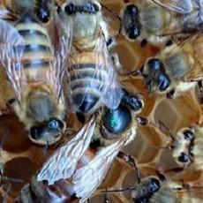 Honeybee_01