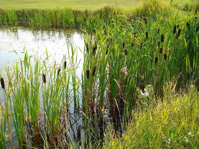 Cattails about the Pond (Courtesy of JMacPherson)