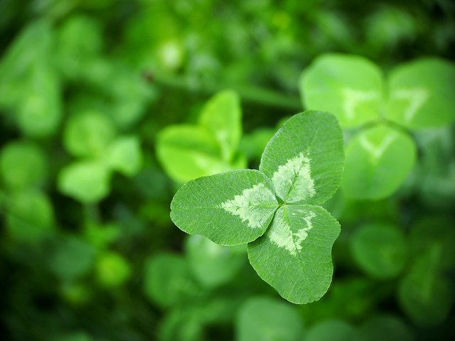 Incredible Clover (Courtesy of Takashi .M)