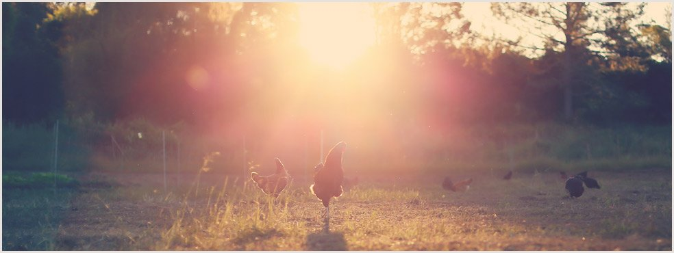 Zaytuna-Farm-Chickens