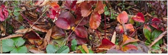 Cultivated strawberry's fall foliage (foreground of Image 2-004). December 5th, 2013