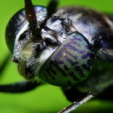 Black Soldier Fly (Courtesy of Sukarman)