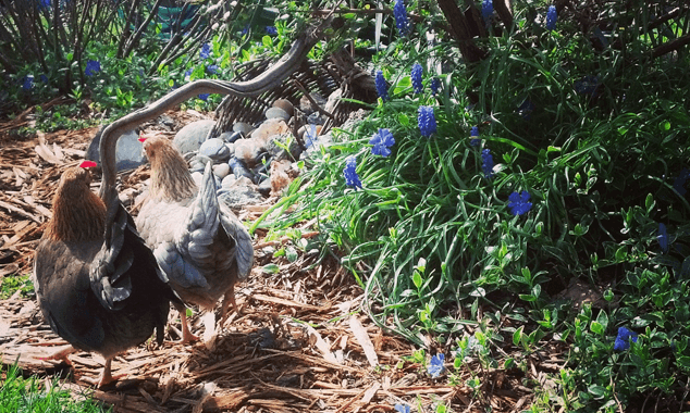 Feeding-Backyard-Chickens14