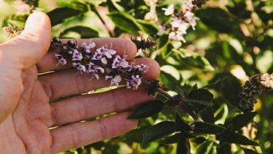 Photo of How To Grow Tulsi – Sacred Basil