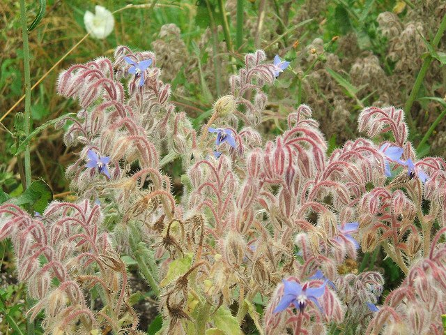 Borage (Courtesy of Dominic Alves)