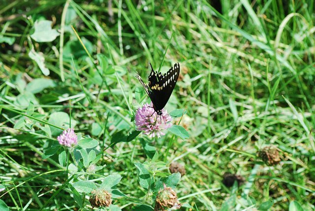 Butterfly on Red Clover (Courtesy of Joshua Mayer)