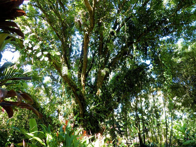Mango Tree (Courtesy of Alden Cornell)