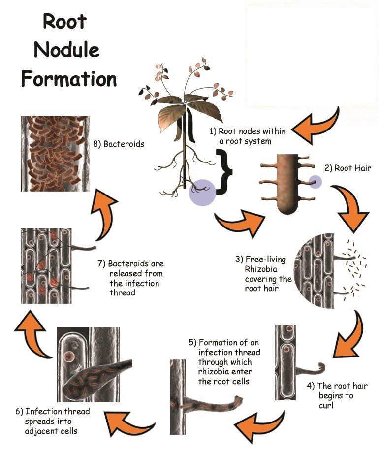 nodule_formation