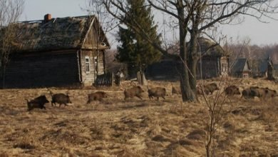 Photo of Long-term Census Reveal Presence of Abundant Mammalian Community in the Chernobyl Nuclear Disaster Zone