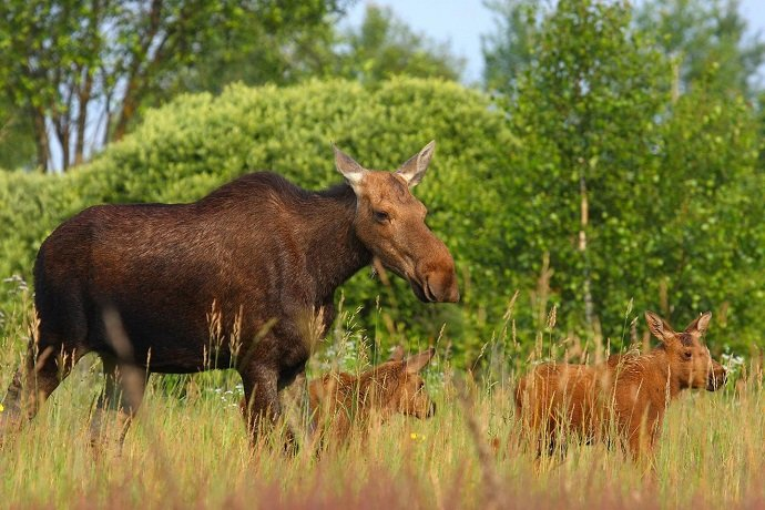 A family of moose roams free in the Chernobyl Exclusion Zone. (Image credit: Valeriy Yurko)