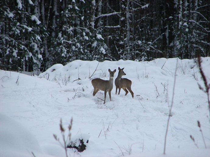 Roe deer near the Chernobyl Nuclear Power Plant disaster area. (Image credit:  Tatyana Deryabina)