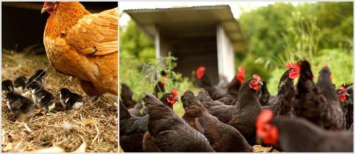 Chickens-at-Zaytuna-Farm