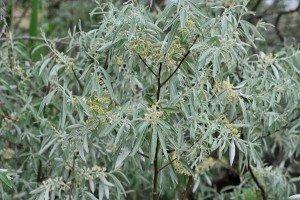 Elaeagnus angustfolia