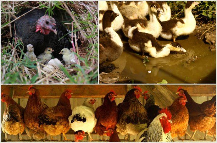 Turkey-ducks-chickens-zaytuna-farm