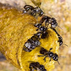 Black Stingless bee on nest.