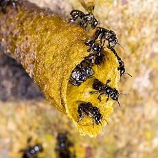 Your Friendly Neighborhood Stingless Bee