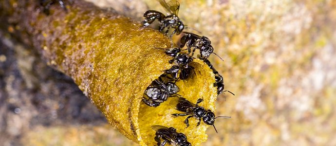 Black Stingless bee on nest.