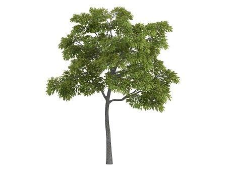 Black walnut or latin Juglans nigra isolated on white background.