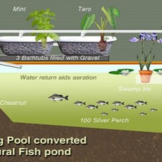 Natural swimming the permaculture research institute for Koi pond swimming pool conversion