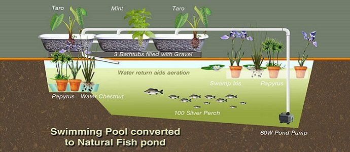Converting a swimming pool to grow fish the permaculture for Koi pond kiddie pool