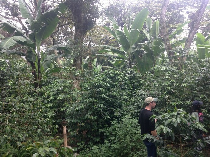 Bananas and coffee under nitrogen-fixing Trema overstory. Veracruz, Mexico.