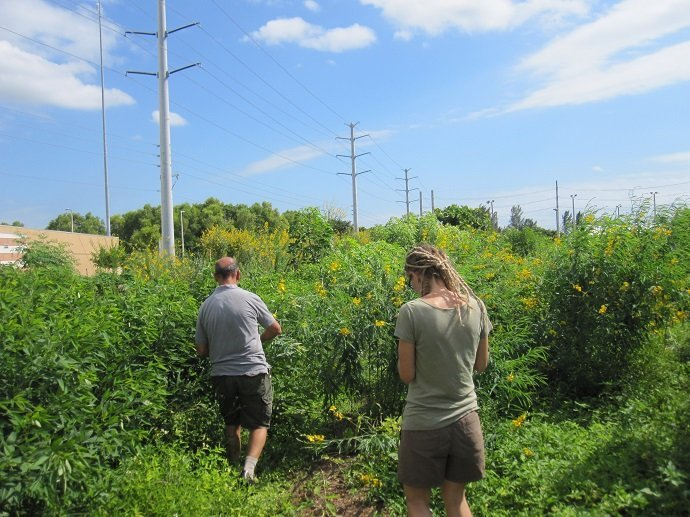 Food forest establishment with pigeon pea and sunn hemp. Earth Learning, Florida USA.