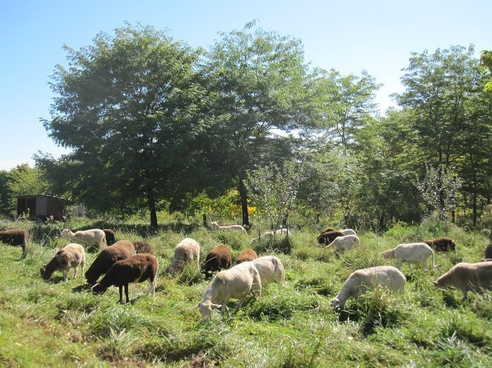 Sheep grazing on grass-clover pasture in understory of agroforestry planting including honey locust, black walnut, persimmon, mulberry, pear and more. Heifer Overlook Farm, Massachusetts, USA.