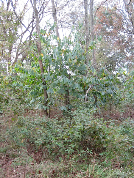 Figure 1. Black locust and pawpaw in a wild-occurring model for polyculture systems. The black locust forms the canopy, and fixes nitrogen. Pawpaw is a fruit tree that likes some shade and appreciates the nitrogen. Both sucker, so the whole polyculture can spread to new areas. Note this is the American pawpaw Asimina triloba, not the Caribbean and Australian pawpaw which is papaya, Carica papaya.