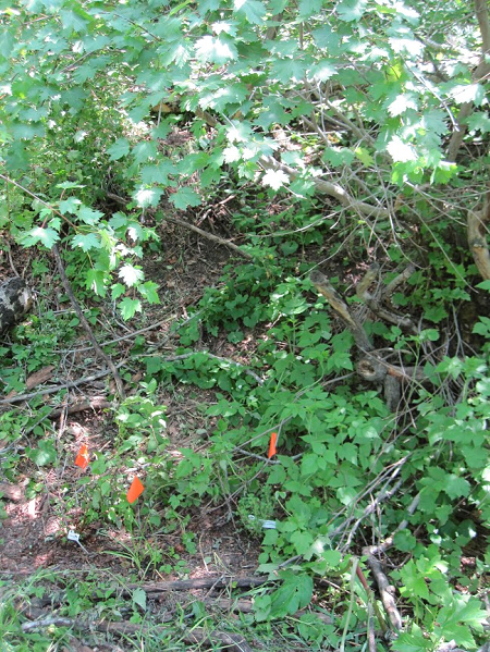 Figure 2. Woodbine Ecology Center, Colorado USA. We planted native whitestem gooseberry under an existing Rocky Mountain maple with a wild raspberry understory, as a result of a design using the process described in this article.