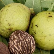 Fruits of black walnut tree