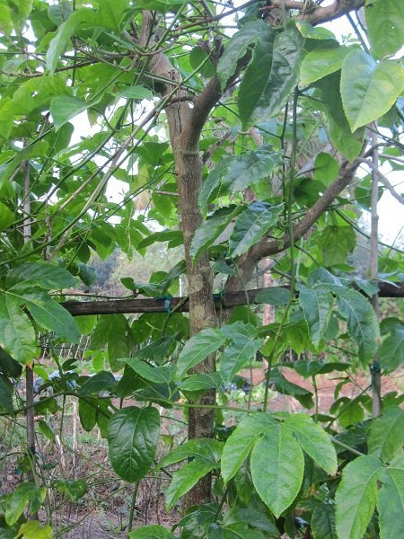Figure 7. This is a living trellis of passionfruit on madre de cacao, a nitrogen fixing tree. I visited this site annually for years and saw that the passionfruit vines were not planted until the trellis trees were at least three years old. Meanwhile sun-loving annuals were grown beneath.