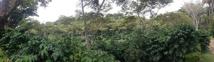 Figure 8. Shade coffee is a commercial perennial polyculture. Here coffee is grown in the shade of nitrogen fixing Inga species.
