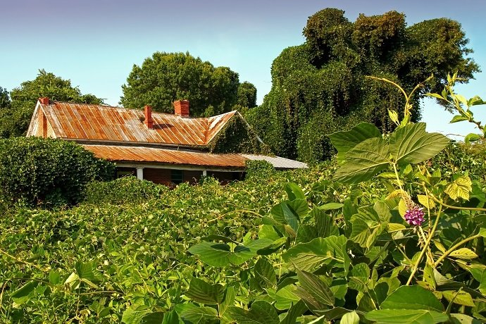 Crumbling house swallowed by kudzu